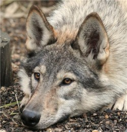 Site is about my wolf dogs and how i have brought them up my wolf dogs